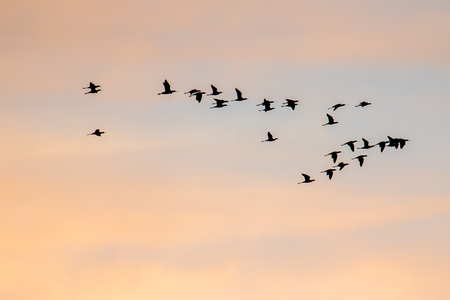 Silhouette of ibis waterbirds in migration pattern against a sunset sky