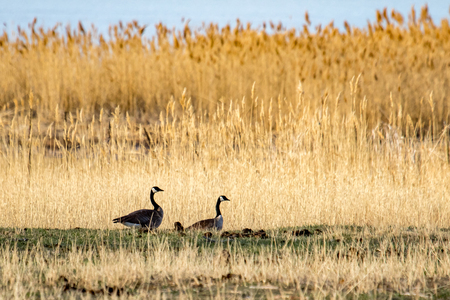 Two, adult Canada geese in a tall, grassy field