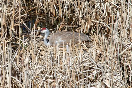 Adult, female sandhill crane tending her nest in the swamp grass