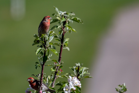 Colorful red, adult, male house finches in a tree looking attentive