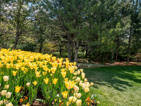 Bright yelloow tulips in a garden or park in Spring