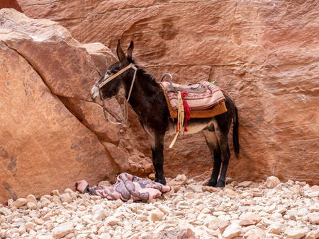 Donkey attentively looking for his owner at the Rose city of Petra near Wadi Musa in Jordan