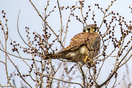 Adult kestrel looking down from a tree with no leaves