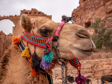 Close up portrait of a camel in the desert in a colorful harness