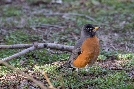 Adult American robin on the ground looking attentive