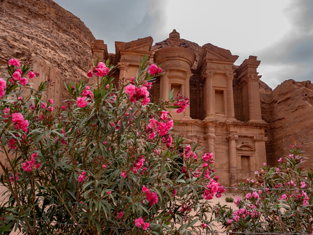 Pink wild desert flowers growing in front of the monastery at Petra, Jordan