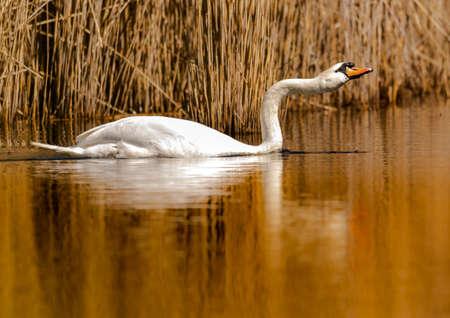A mute swan (Cygnus olor) swims on a small pond in southern Germany during summer