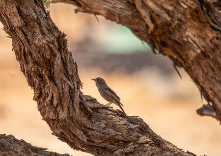 Singing Bird in the Namib Desert in Namibia during summer