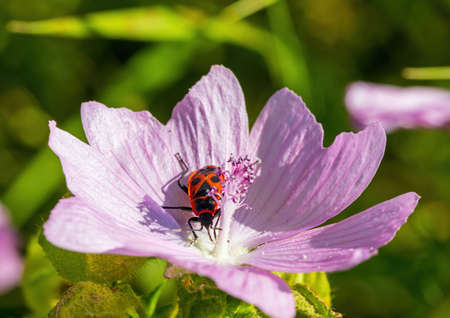 A Pyrrhocoridae sits on a Malva moschata flower in summer