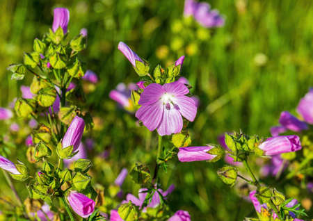 Image of a malva moschata on a wildflower meadow in summer Zdjęcie Seryjne