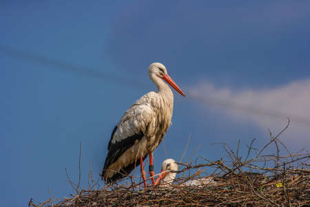 A stork in its nest bringing food for the newly born storks