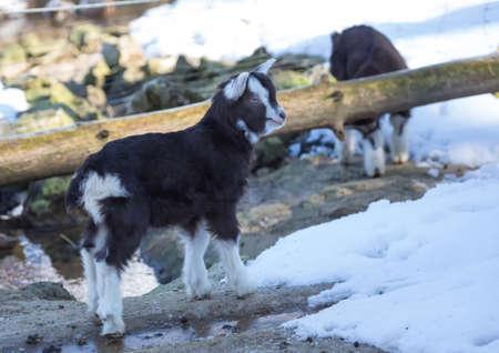 Picture of dwarfs goat (Capra aegagrus hircus)