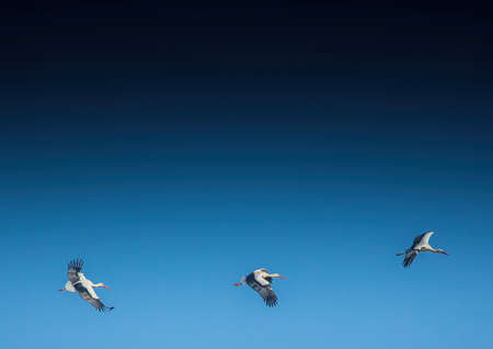 Storks and Gray Cranes on a field and in the air near the City of Erlangen, Germany.