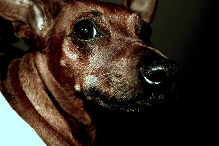 miniature breed: Retrato del perro - Miniatura Raza pinza