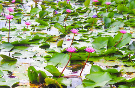 remarkable: Lotus be remarkable In the rainy season. Stock Photo