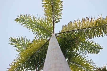 acuminate: Carpentaria Palm