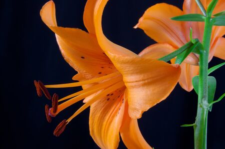 oranje lelie: Alleen mooi oranje lelie