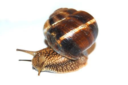 escarole: Garden snail on white background isolated Stock Photo