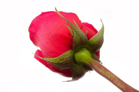 dewdrop: Only beautiful red rose on the white background view from below with dewdrop