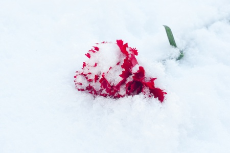 only beautiful red flower with green leafs on the white snow Stock Photo - 12409049