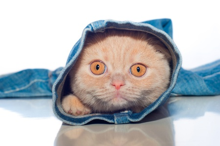 the red kitty is in one trouser-leg of blue jeans on a white background Stock Photo