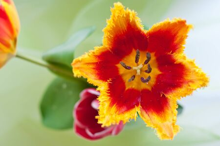 completely: dewdrops on a beautiful red and yellow tulip with completely opened petals close up Stock Photo