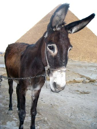 tether: Close-up photo of a Donkey on a tether
