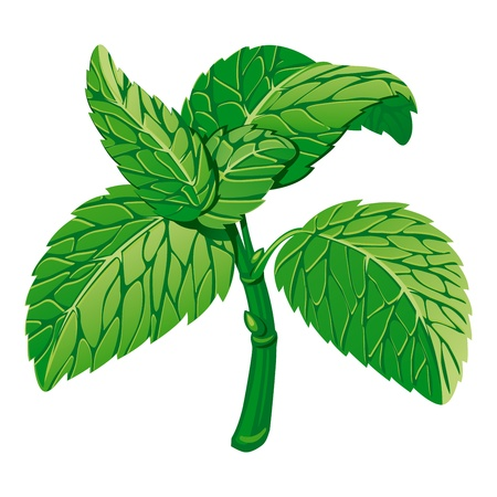mint leaves: Mint. Vector Illustration