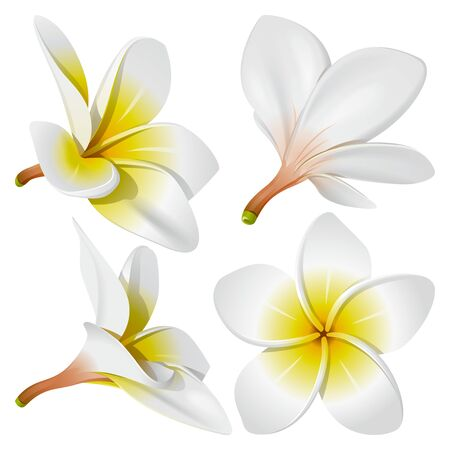 flowers close up: Frangipani (Plumeria). Hawaii, Bali (Indonesia), Shri-Lanka tropical necklace flowers. Vector Illustration