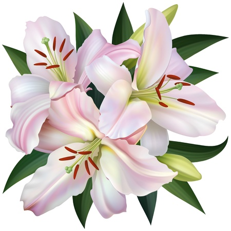 White Lily Isolated on White Background Illustration