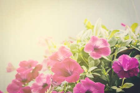 petunia wild: Pink Petunia flowers with vintage tone and sun light Stock Photo