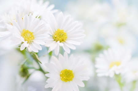 Close up of white daisy flowers on blue sky background with soft vintage tone