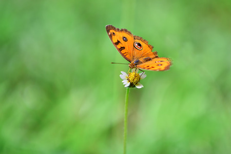 green butterfly: Yellow butterfly on tiny flower with green blurred background