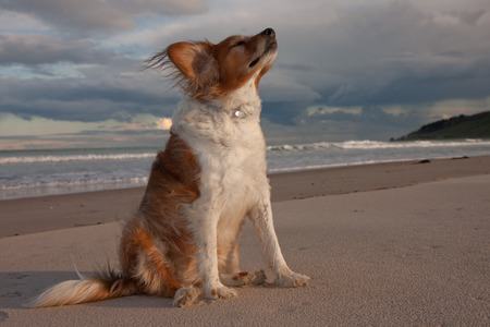 red haired dog sitting on a white sandy southern hemisphere beach in autumn light as the sun goes down