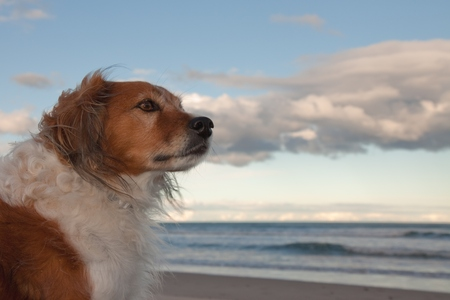 red headed dog at southern hemisphere beach as the sun goes down on an autumn day