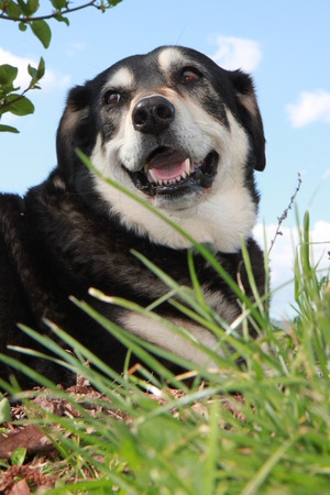 unleashed: black and white Huntaway sheepdog resting on a hot day in long green grassy field