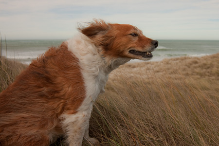 red haired collie dog on a windy hillside