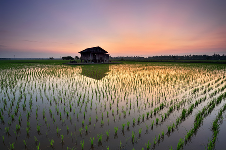 Beautiful view of rice paddy field during sunrise in Malaysia. Nature composition Stock Photo
