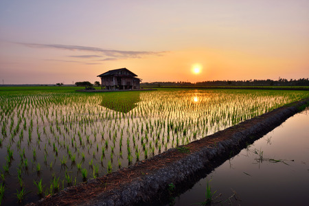 Beautiful view of rice paddy field during sunrise in Malaysia. Imagens