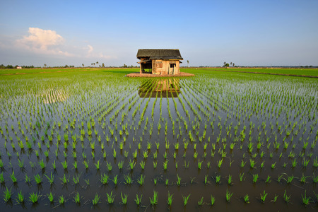 Beautiful scenery of green paddy field with reflection of abandoned house Stock Photo