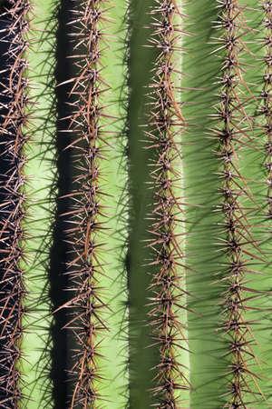 saguaro cactus: close-up of saguaro cactus
