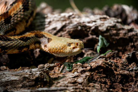 timber: timber rattlesnake on the prowl