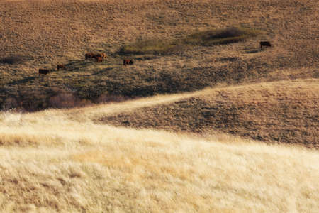 fescue: faraway cows grazing in western prairie Stock Photo