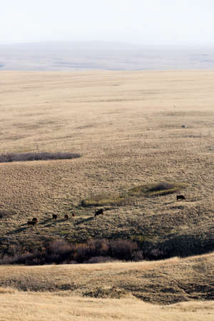 expansive: cows grazing on expansive ranch land