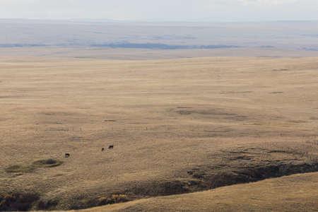 fescue: faraway cows grazing immense ranch land