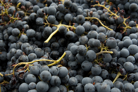 Vintage, Black grapes, bunches of grapes, for red wine Stock Photo