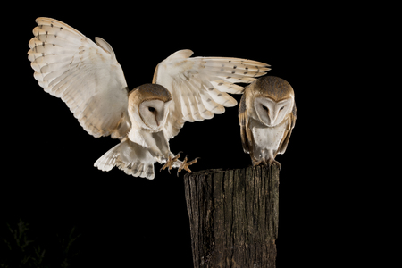 Barn Owl couple, male and female in flight perching on a trunk with open wings, black background, Tyto alba