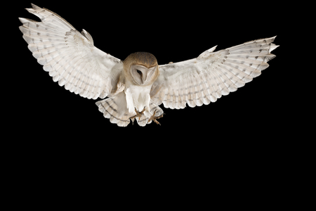 Barn Owl, in flight of perching on a trunk with open wings, black background, Tyto alb