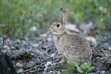 Rabbit portrait in the natural habitat, life in the meadow. European rabbit, Oryctolagus cuniculus