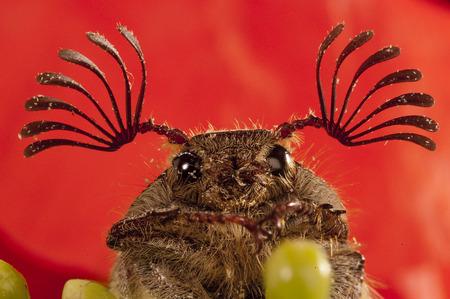 beetle sanjuanero portrait, Melolontha melolontha, Beetles, Coleoptera Reklamní fotografie
